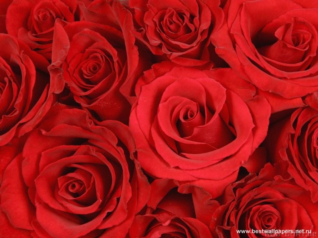 Обои и картинки розы на рабочий стол